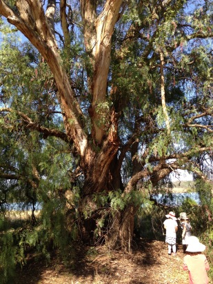 peppercorn and eucalypt