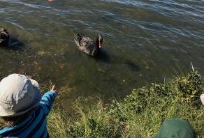 swans feeding grass2